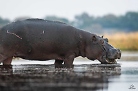 """Big Hippopotamus (Hippopotamus amphibius) chomps on a breakfast of water plants. It's name means """"water horse"""" or """"river horse"""" and these guys get huge. Males average over 3,300 pounds. They are intensely territorial in the water - this probably accounts for the scars on this one. Although they resemble pigs, their closest living relatives are cetaceans – whales, dolphins and porpoises."""
