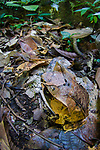 Bornean Horned Frog (Megophrys nasuta) amongst leaf-litter in forest floor. Near Ginseng Camp in the heart of Maliau Basin - Sabah's 'Lost World'. Maliau Basin, Borneo.