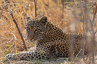 africa, Zambia, South Luangwa National Park, Leopard deated