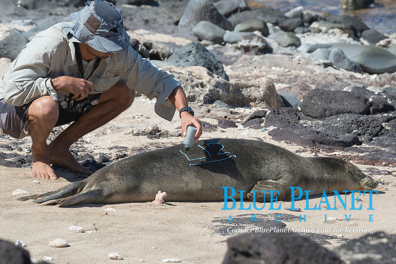 NOAA researcher Mark Sullivan, bleach marks a Hawaii, USA, Pacific Oceanan monk seal, Neomonachus schauinslandi, Critically Endangered endemic species, using a commercial hair coloring product; west end of Molokai, Hawaii, USA, Pacific Ocean, photo taken under NOAA permit 10137-6