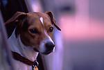 Europa, DEU, Deutschland, Hund, Schaut aus Autofenster, Jack Russel Terrier, Portrait, Canis lupus familiaris<br /> [Fuer die Nutzung gelten die jeweils gueltigen Allgemeinen Liefer-und Geschaeftsbedingungen. Nutzung nur gegen Verwendungsmeldung und Nachweis. Download der AGB unter http://www.image-box.com oder werden auf Anfrage zugesendet. Freigabe ist vorher erforderlich. Jede Nutzung des Fotos ist honorarpflichtig gemaess derzeit gueltiger MFM Liste - Kontakt, Uwe Schmid-Fotografie, Duisburg, Tel. (+49).2065.677997, fotofinder@image-box.com, www.image-box.com]