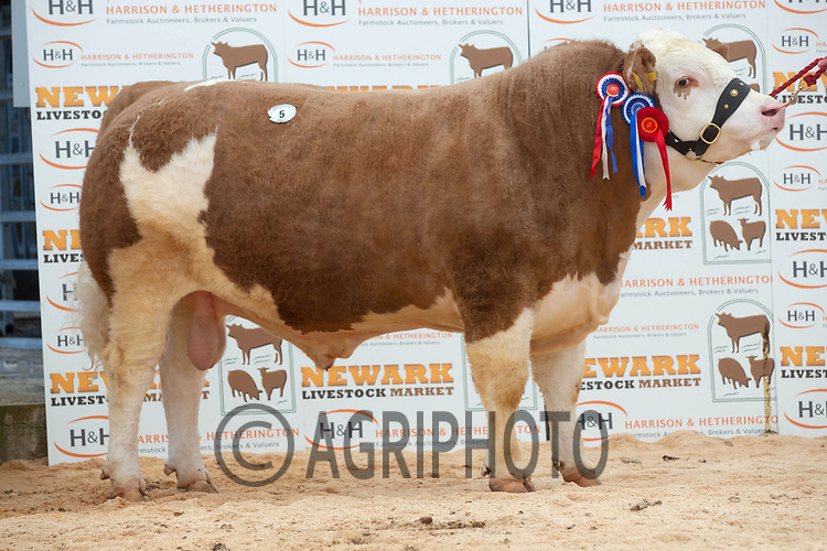 English Premier Show & Sale March 2019 <br /> Newark Livestock Market. <br /> Lot 5 Champion Hemingford Issac owned by J A Griffin failed to sell<br /> ©Tim Scrivener Photographer 07850 303986<br />      ....Covering Agriculture In The UK....