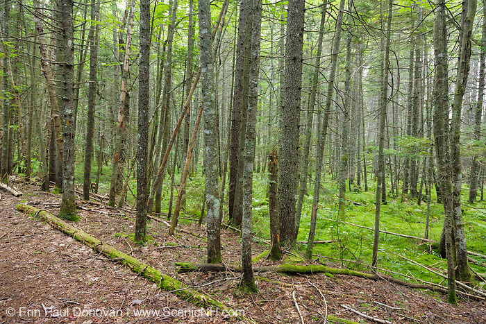 Softwood forest along the Carrigain Notch Trail in the Pemigewasset Wilderness of Lincoln, New Hampshire during the summer months. This trail utilizes the old railroad bed of the East Branch & Lincoln logging Railroad (1893-1948).