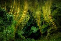 Stand of bamboo at Akaka Falls. Hawaii, The Big Island.