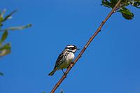 Male Black-throated Gray Warbler (Setophaga nigrescens).<br /> Olympic Peninsula, WA.  July.