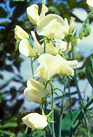 Lathyrus odoratus Mrs Collier sweetpeas in yellow cream fragrant bloom against blue sky, growing