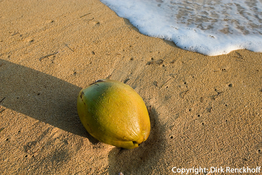 Kokosnuss am Strand von Las Terrenas auf der Samana-Halbinsel, Dominikanische Republik