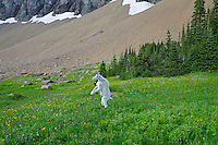 Mountain Goat (Oreamnos americanus) standing on hind legs during a frisky moment.  Glacier National Park, Montana.  Summer.