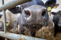 Cattle - straw yard