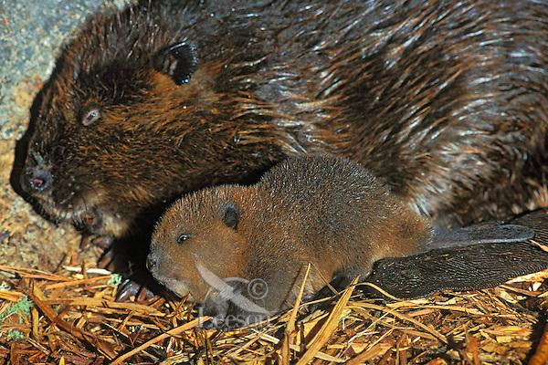 American Beaver (Castor canadensis) mom and kit inside lodge.