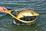 Handheld brown trout on the Bighorn River, Fort Smith, Montana