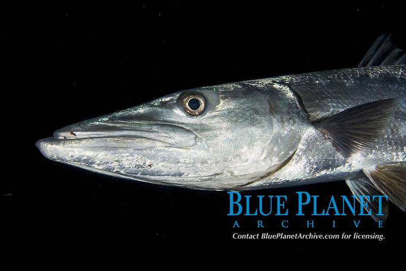 great barracuda, Sphyraena barracuda, Caribbean Sea, Atlantic Ocean