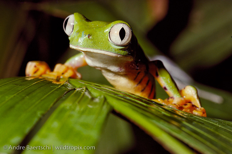 Tiger-striped Leaf Frog (Phyllomedusa tomopterna) sitting on a palm leave, tropical rainforest, Rio Tuichi, Madidi National Park, Bolivia.