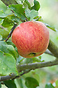 """Apple 'Peasgood's Nonsuch', mid September. A large apple that when ripe is crisp, juicy, and refreshing and can be eaten raw, but also cooks well. First raised by Mrs Peasgood in Lincolnshire and acclaimed by the RHS in 1872 as """"one of the most handsome apples in cultivation"""". It certainly is."""