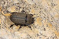 Gemeiner Staubkäfer, Sand-Schwarzkäfer, Sandschwarzkäfer, Opatrum sabulosum, Schwarzkäfer, Dunkelkäfer, Tenebrionidae, darkling beetles, flour beetles, mealworm beetles