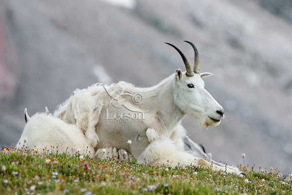 """Mountain Goat (Oreamnos americanus) nanny and kid on edge of alpine meadow in the Beartooth Mountains near the Wyoming/Montana border.  The nanny is shedding her heavy winter coat of fur to a new """"summer weight"""" fur coat which will grow long again for the next winter."""