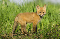 Young Red Fox standing near a grassy field
