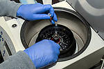 Placing test tubes inside centrifuge for seperating chemicals during Mitochondrial DNA extraction process.