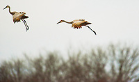 """""""Sandhill Crane Migration G1B_0048""""  Aldo Leopold Foundation  Wisconsin River 