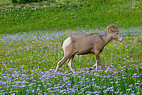 Rocky Mountain Bighorn Sheep (Ovis canadensis).  Glacier National Park, Montana.  Summer.