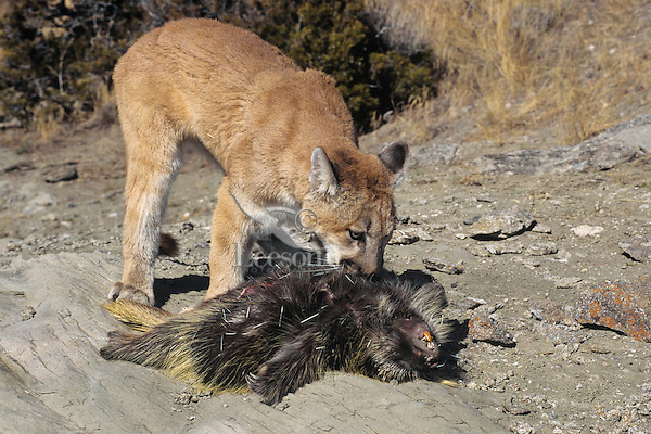 Mountain Lion (Puma concolor) preying on porcupine (Erethizon dorsatum).  Western U.S.