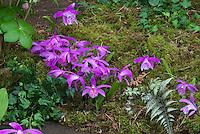 Pleione formosana Orchids Growing in Garden