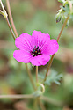 Geranium cinereum subsp. subcaulescens, late June. A compact perennial with dark grey-green leaves and vivid magenta-purple, black-centred flowers. Native to southeastern Europe.