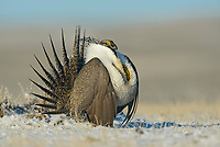 Male Greater Sage-Grouse (Centrocercus urophasianus) displaying on a lek in spring. Sublette County, Wyoming. March.