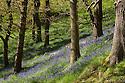 Bluebells {Endymion nonscriptus} flowering in deciduous woodland, Peak District National Park, Derbyshire, UK, May