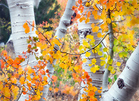 Close up of fall color and trunks of aspen trees. Inyo National forest. California