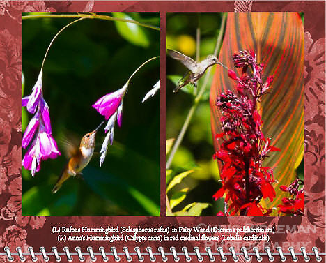 """April of the 2014 Birds of a Feather Calendar. Photo is called """"Hummingbird Fairy Wand Flight"""" and """"Hummingbird in Red Cardinal Flowers"""".  A Rufous Hummingbird (Selasphorus rufus) is in flight approaching the pink flower bloosoms of a Fairy Wand (Dierama pulcherrimum) aka Angel's Fishing Rods on a bright, sunny day"""