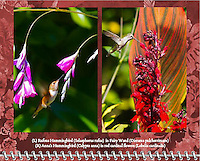 "April of the 2014 Birds of a Feather Calendar. Photo is called ""Hummingbird Fairy Wand Flight"" and ""Hummingbird in Red Cardinal Flowers"".  A Rufous Hummingbird (Selasphorus rufus) is in flight approaching the pink flower bloosoms of a Fairy Wand (Dierama pulcherrimum) aka Angel's Fishing Rods on a bright, sunny day"
