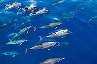 Atlantic spotted dolphin, Stenella frontalis, large pod, Azores, Portugal, Atlantic Ocean