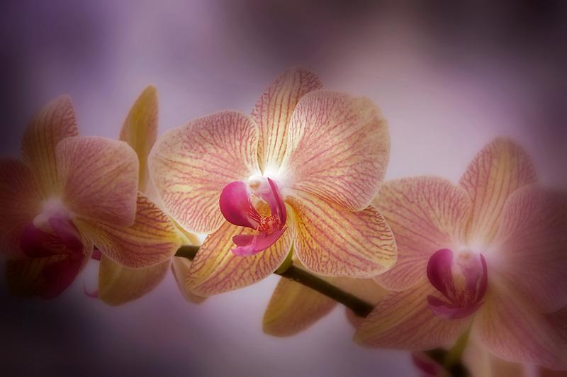 Orchid. Phal. (chih Shangs stripes x Sogo Lion. Oregon Coast Garden Center.