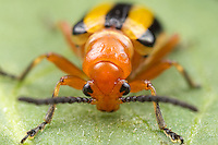 A frontal view of a Three-lined Potato Beetle (Lema daturaphila) perched on a leaf.