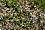 Strawberry plant flowering during spring shpwing entire Strawberry patch.