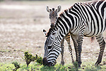 """A zebra calf, 'cuddles' into mum for comfort following a scuffle with a bigger male.  The pair were spotted in Maasai Mara National Reserve by amateur photographer Victoria Coombe, 43.<br /> <br /> Miss Coombe said, """"I was watching the group for about 40 minutes. The calf and mother had just had an interaction with a male zebra, the mum kept the baby out of harms way and eventually the male left them alone.  Mum started to relax and graze but the baby didn't want to be far from it's mother at all and kept incredibly close by, this is how I managed to get this shot as the baby kept cuddling right up to mums head and neck.""""<br /> <br /> """"When I saw the image I was just totally blown away by how cute it was.  Seeing animal interactions like this with such strong family bonds help you see wild animals differently. It almost makes them feel more human and allows us to see they have emotions like we do.""""<br /> <br /> Please byline: Victoria Coombe/Solent News<br /> <br /> © Victoria Coombe/Solent News & Photo Agency<br /> UK +44 (0) 2380 458800"""