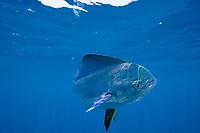 dorado, mahimahi, mahi-mahi, dolphinfish, or dolphin-fish, Coryphaena hippurus, off Isla Mujeres, near Cancun, Yucatan Peninsula, Mexico (Caribbean Sea)