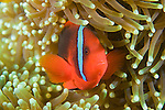 Anilao, Philippines; an adult, female Tomato Anemonefish (Amphiprion frenatus) in amongst it's Bubble-tip Anemone (Entacmaea quadricolor)