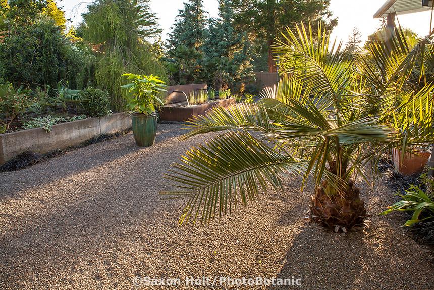 Jubaea chilensis, young Chilean palm in back yard gravel patio; Kuzma Garden, Portland Oregon; design Sean Hogan