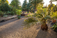 Jubaea chilensis, young Chilean palm in back yard gravel patio; Kuzma Garden, Portland Oregon; design Sean Hogan
