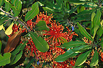 2073-CC Stenocarpus sinuatus, Firewheel tree