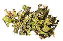 Tree Lungwort {Lobaria pulmonaria} lichen, Inverness-shire. Scotland