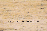 Pack of wild wolves in Yellowstones Lamar Valley.  Fall.