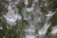 Spinnennetze von Baldachinspinne und Kreuzspinne, Baldachin-Spinne, Netze, Netz, Spinnennetz, Spinnennetze im Morgentau, Tau, Frontinellina frutetorum, Frontinella frutetorum, Linyphia frutetorum, Linyphiidae, Baldachinspinnen