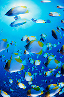 Pyramid butterflyfish, Hemitaurichthys polylepis Saipan, Pacific Ocean