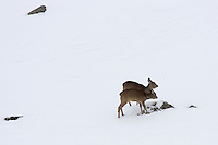 Two roe deer standing close together in the snow