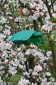 Codling moth trap hanging amongst apple blossom, end April.