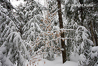 WT05-515z  Maine forest scene with snow cover