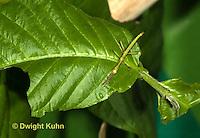 OR07-590z  Jamaica Stick-Insect nymph, Aplopus jamaicensis, Jamaica
